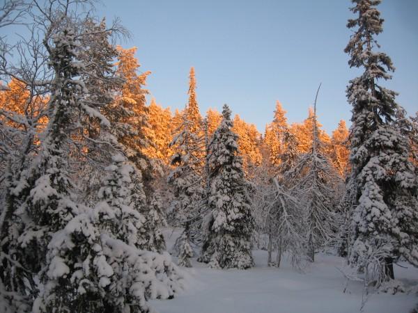Baumwipfel in rotem Licht - Valtavaara Nationalpark Finnland